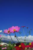 20141123宜蘭武暖石板橋波斯菊花海:宜蘭波斯菊花海01.jpg